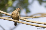 The Itchy Pied Bushchat (female)