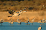 Sandhill Crane Flight 2