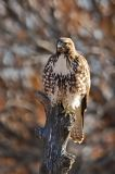 Red-tailed Hawk 2
