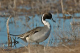 Pintail Duck 3