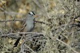 White-crowned Sparrow 2
