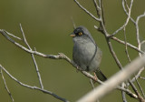 Yellow-eyed Junco