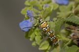 Ailanthus Webworm 2