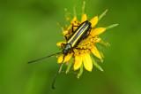 Pleasing Mannophorus