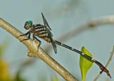 Clubtailed Dragonfly