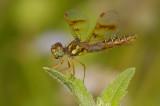 Eastern Amberwing - Female 2