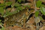 Rio Grande Leopard Frog 2
