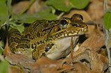 Rio Grande Leopard Frog 3