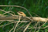 African Silverbill Leaning