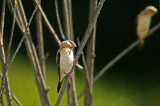 African Silverbill at Pond