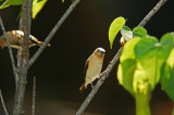 African Silverbill Checking Me Out