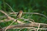 African Silverbill on Twig