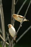African Silverbills at Pond