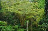 Bamboo and Cecropia