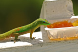 Gold Dust Day Gecko at Jelly