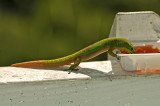 Gold Dust Day Gecko at Jelly 3