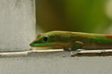 Gold Dust Day Gecko Closeup