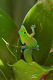 Gold Dust Day Gecko in Plant
