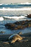 Green Sea Turtle at Black Sand Beach