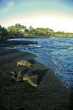 Green Sea Turtle at Black Sand Beach (at Punalu'u) 2