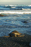 Green Sea Turtle at Black Sand Beach 3