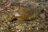Green Sea Turtle Munching