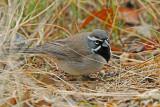 Black-throated Sparrow 2