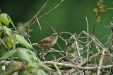 Spotted Wren 2