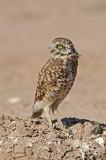 Western Burrowing Owl 2