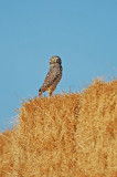 Western Burrowing Owl 3