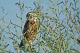 Western Burrowing Owl 4
