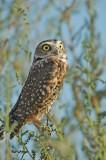 Western Burrowing Owl 5