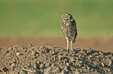 Western Burrowing Owl 6
