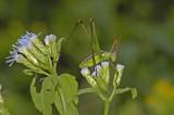 Mountain-dwelling Short-winged Katydid