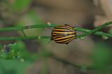 Colorado Potato Beetle 2