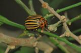 Colorado Potato Beetle 3