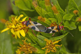Mating Plant Bugs