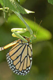 Praying Mantis Eating Monarch Butterfly