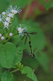 Mating Flies 2
