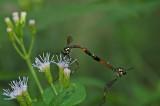 Mating Flies 3