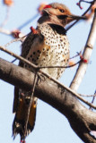 #21   Pic Flamboyant / Northern Flicker