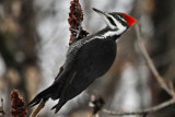 #11  Grand Pic  /  Pileated Woodpecker