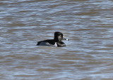 #83   Fuligule à collier  /  Ring-necked Duck