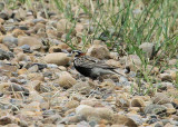 #159  Chestnut-collared Longspur
