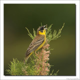 Zwartkopgors    -    Black Headed Bunting