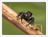 Rode Springspin    -    Red Jumping Spider