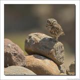 Steenuil - Athene noctua - Little Owl