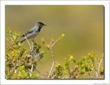 Rüppells Grasmus    -    Ruppell's warbler
