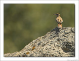 Rosse Waaierstaart - Cercotrichas galactotes - Rufous-Tailed Scrub Robin