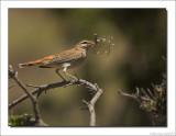 Rosse Waaierstaart    -    Rufous-Tailed Scrub Robin